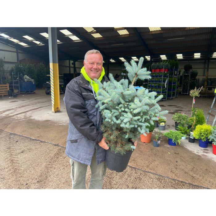 Picea Pungens Blue Diamond 10 Litre Pot
