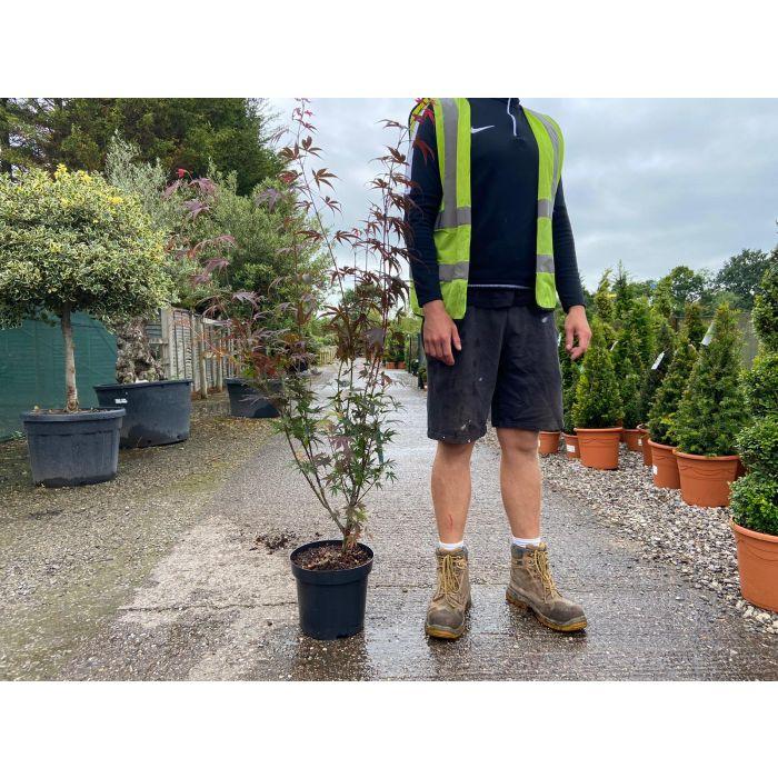 Acer Palmatum Bloodgood 7.5 Litre Pot