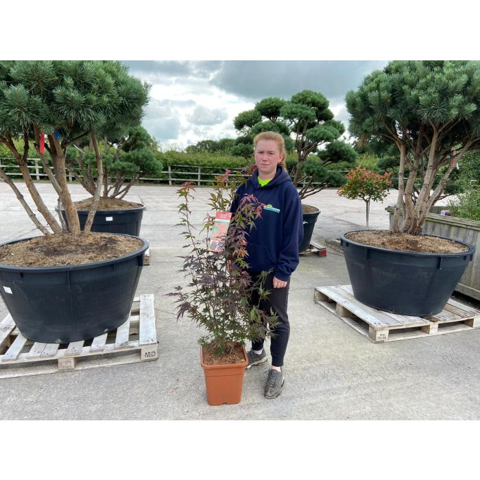 Acer palmatum Atropurpurea 14 Litre Pot