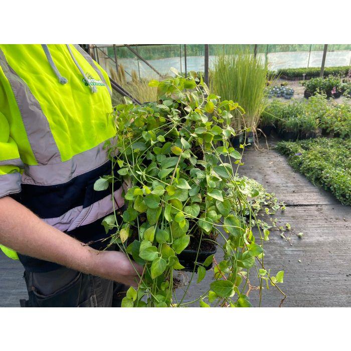 Vinca Major 9 cm Pot X 12 Plant Pack