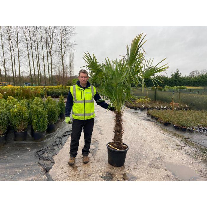 Trachycarpus Fortunei 35 Litre Pot 60-80cm Trunk