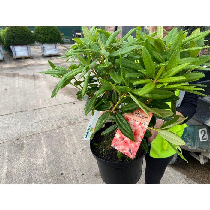 Rhododendron Hybrid Tortoise Orange 5 Litre Pot
