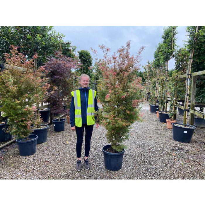 Acer palmatum Jerre Schwartz 30 Litre
