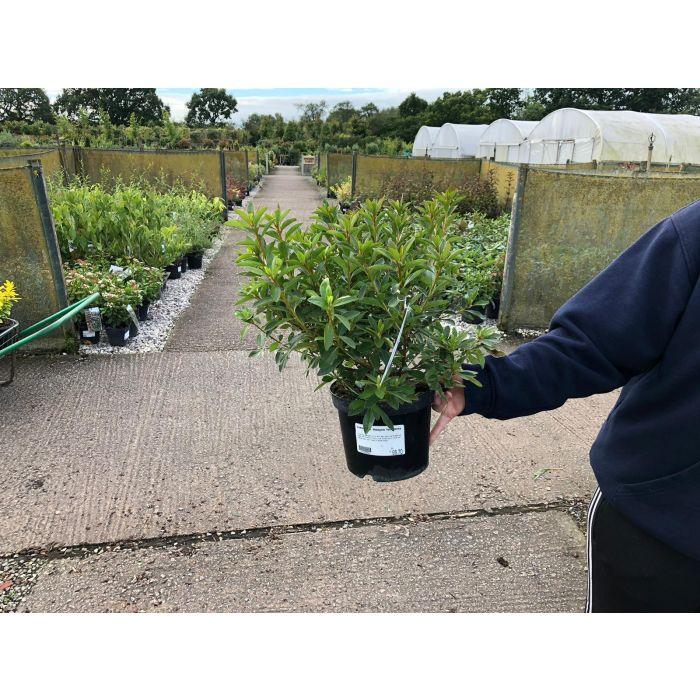 Azalea Japonica Madame Van Hecke 2 Litre Pot