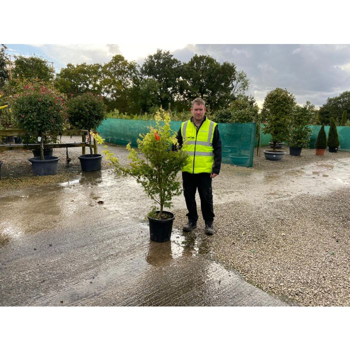 Acer palmatum Sangokaku 25 Litre Pot