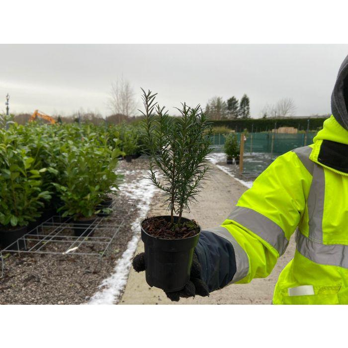 Yew Hedging 9cm Pot