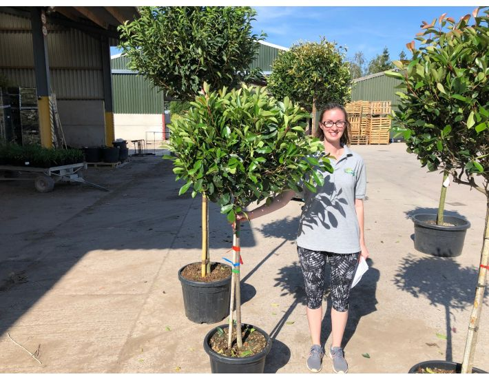 Photinia Red Robin Half Standard Standard Photinia Grasslands Nursery Cheshire